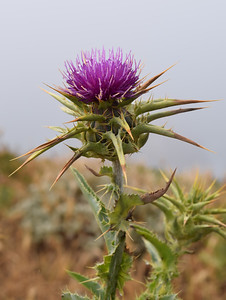 Thistle | Point Reyes National Seashore