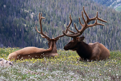 Elk | Rocky Mountain National Park