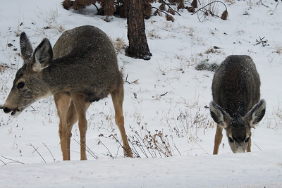Winter Deer | Rocky Mountain National Park