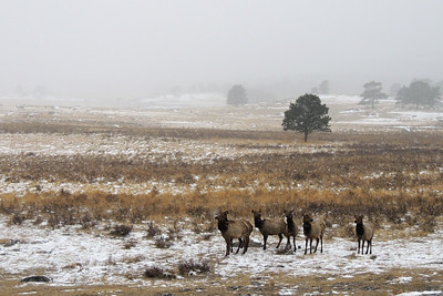 Grazing Elk | Rocky Mountain National Park