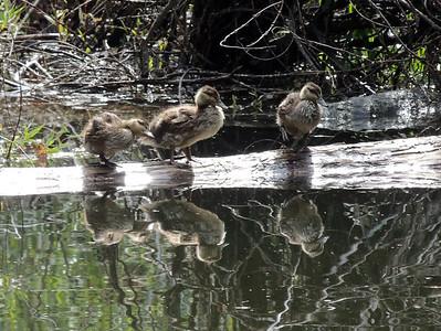 Ducklings | Yosemite National Park
