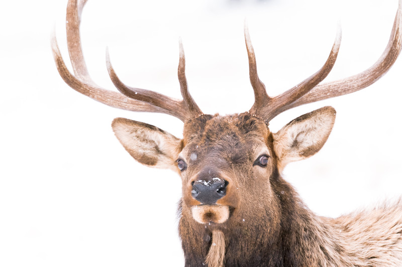 Snow-Covered Antlers