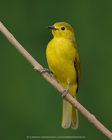 Yellow-browed Bulbul (Acritillas indica)