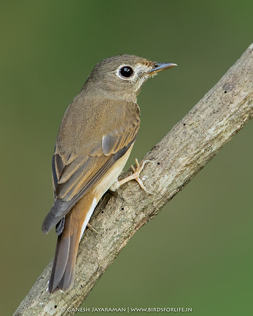 Brown-breasted Flycatcher (Muscicapa muttui)