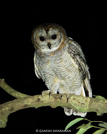 Mottled Wood-owl (Strix ocellata)