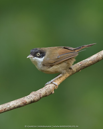 Dark-fronted Babbler (Rhopocichla atriceps)