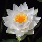 White Water Lily | Seattle,