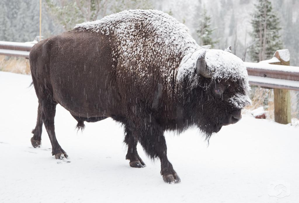 Snowy%20Buffalo--XL.jpg