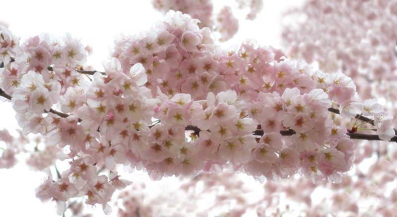 The 2009 Cherry Blossom Festival