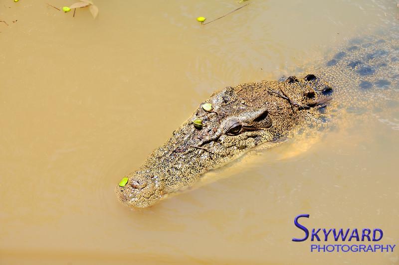 Australian Estuarine Crocodile