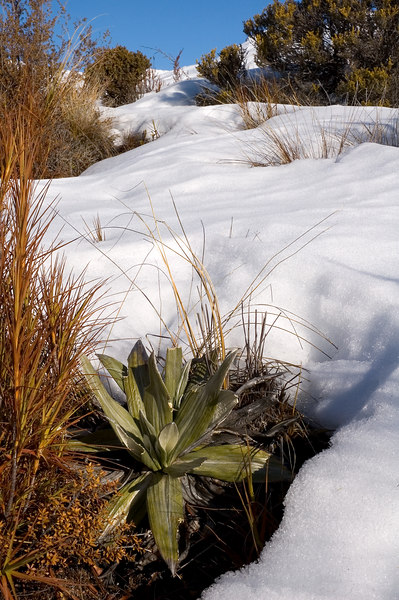 Alpine plants enjoying the snow