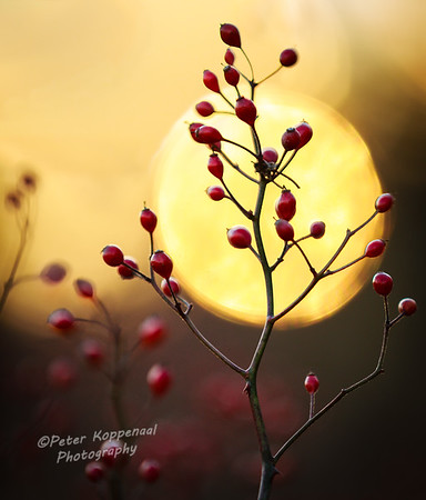 Sunset Berries