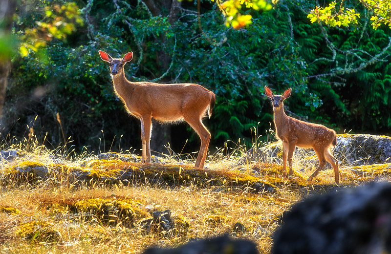 Deer & Fawn in Sunlight