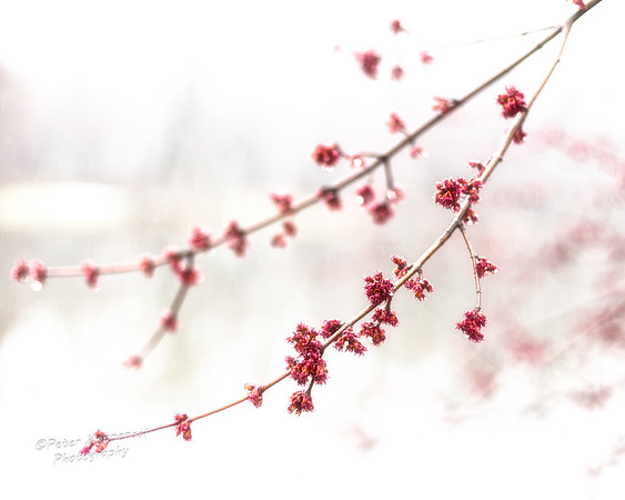 Pink Blossoms in Snow II