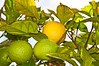 California Lemon Tree