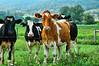 PA Cows   [2006.8.29]