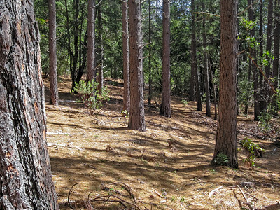 Ventana: Big Pines Before the Basin Fire - April 2006