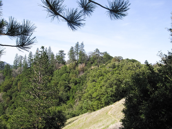 Pines on the ridge.