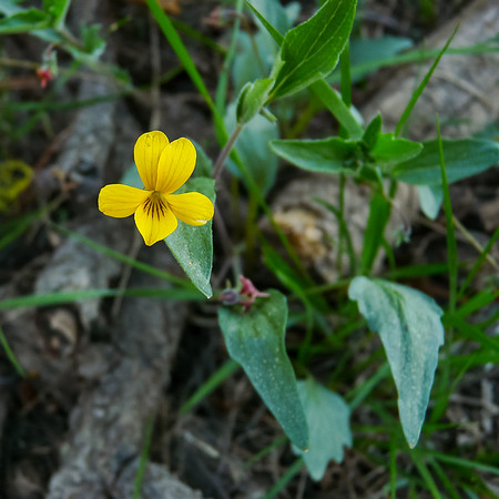 Viola pinetorum ssp. pinetorum (goosefoot yellow violet).  I have no alternatives, but I'm never 100% sure on the yellow violets.