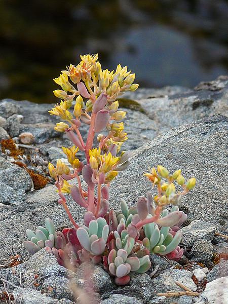 Sedum obtusatum ssp. obtusatum (Sierra sedum), although a bit a maybe on the identification.