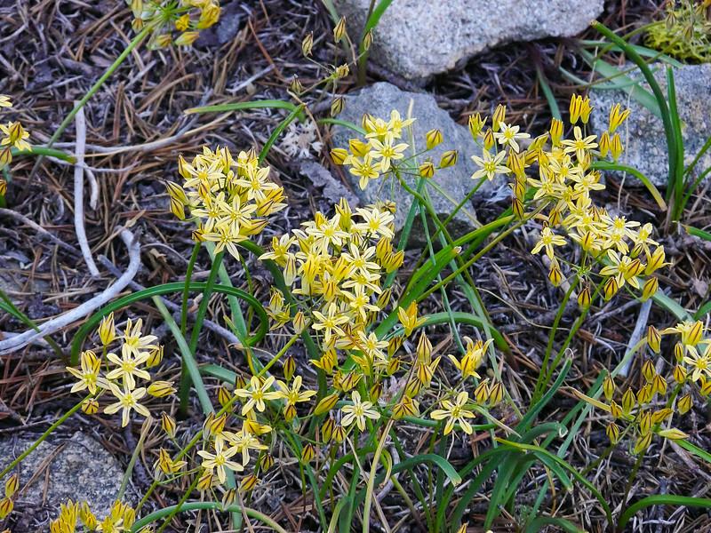 Triteleia ixioides.  Possibly ssp. anilina.  Mountain Pretty Face. (Golden Brodiaea.) Emigrant Wilderness.  July 2010.