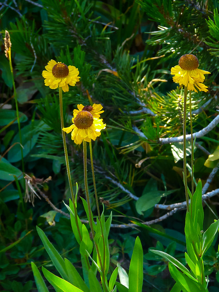 Helenium bigelovii (Bigelow's sneezeweed). Pretty common on this trip.