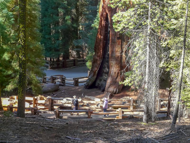 Sequoiadendron giganteum (giant sequoia).  Monday, September 1.  The Sherman Tree.
