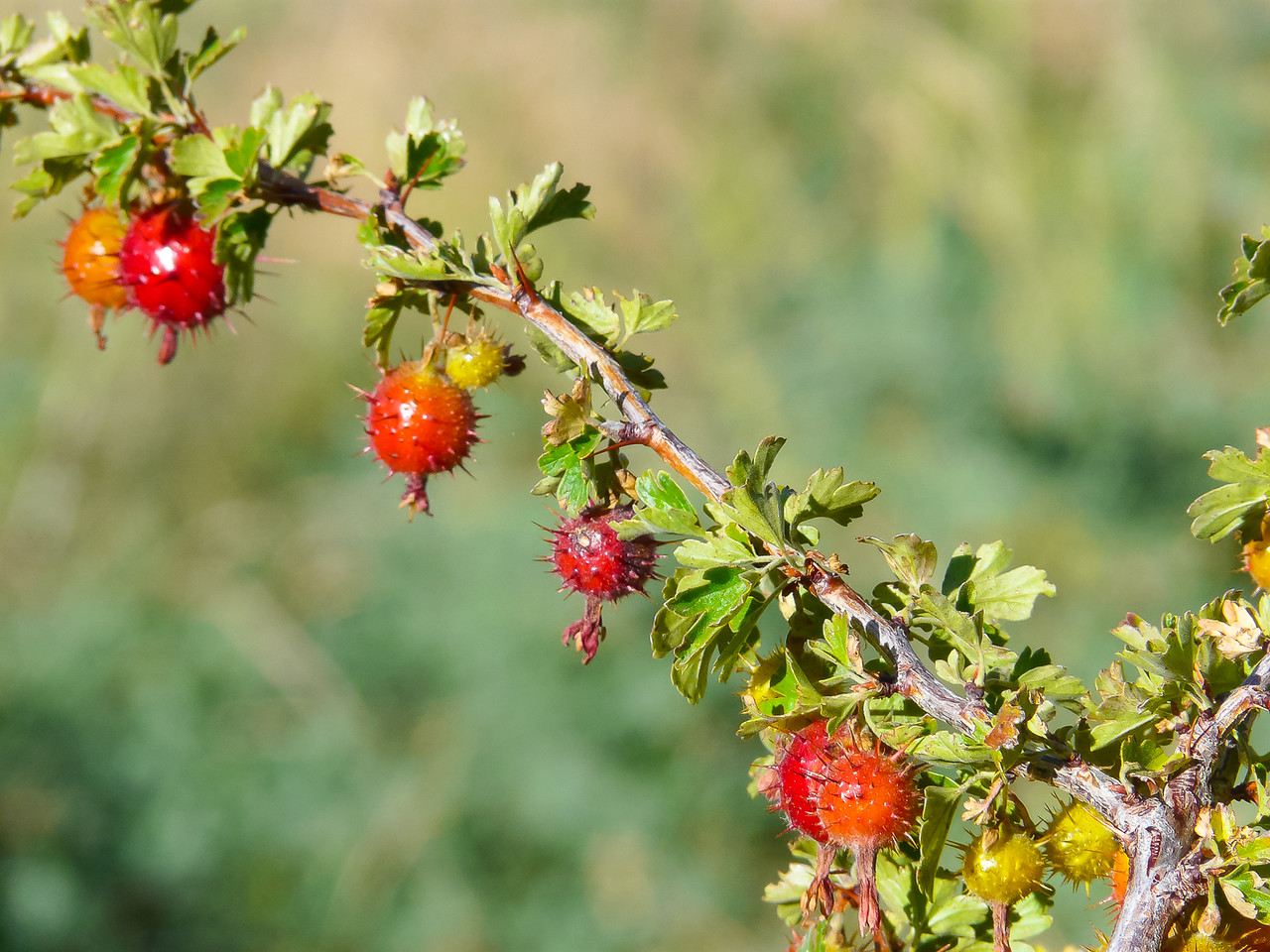 Ribes roezlii, the Sierra gooseberry.