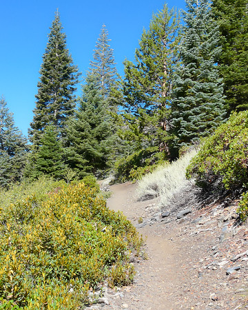 The climb began in sage, moved into some thin lodgepoles, and then crossed this manzanita-covered slope.