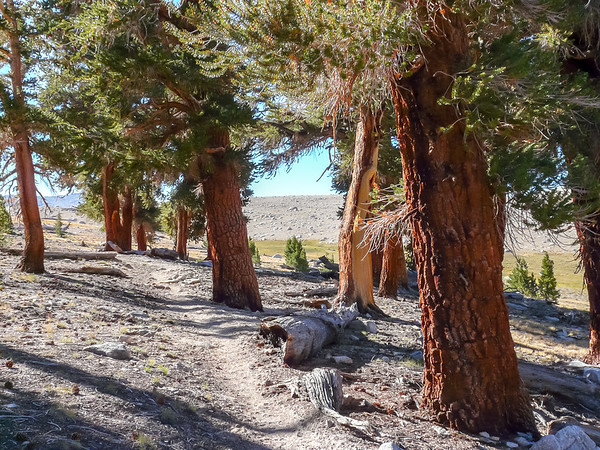 Pinus balfouriana ssp. austrina.   Big foxtails pines.  They just end at the moonscape beyond.