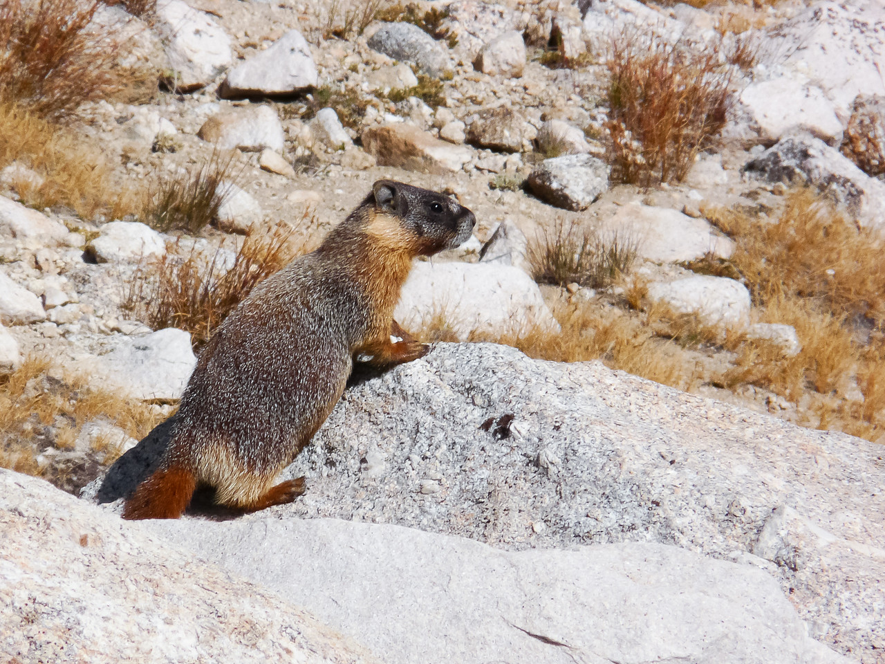 Guitar Lake had a family of marmots.  I thought I saw a pika or two also, but I wasn't sure.  None posed for a picture.