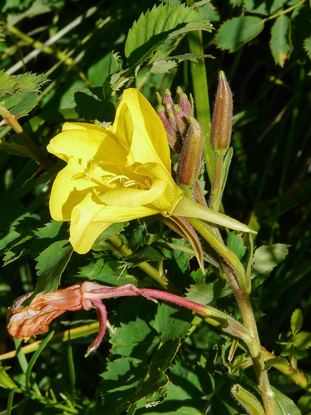 Oenothera elata.  Hooker's evening primrose about half an hour in from the McGee Creek trailhead.