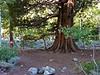 Juniperus grandis.  Camp was in Aspen Meadow under this handsome Sierra juniper.