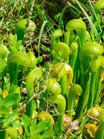 Darlingtonia californica. California pitcher plant. More exotic things around the Preacher Meadow Research Natural Area.