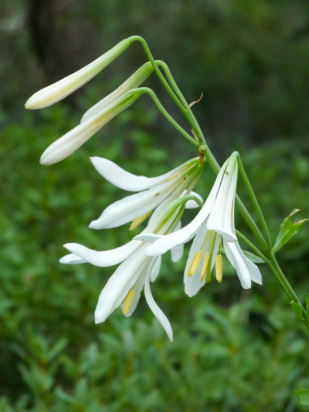 Lilium washingtonianum.