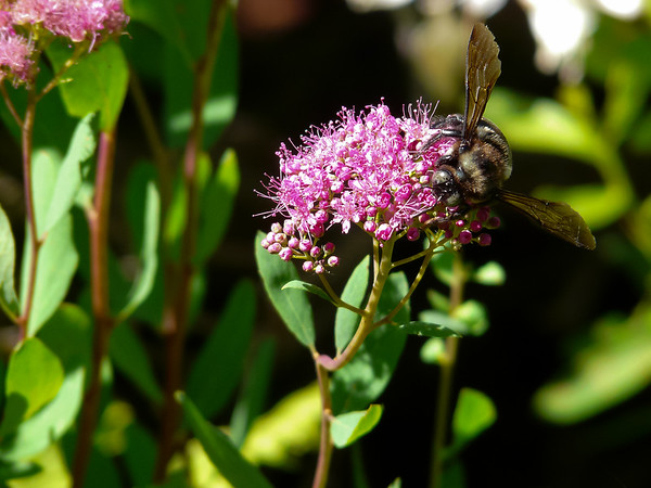 Spiraea splendens and bee.