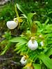 Cypripedium californicum (California lady's slipper orchid).