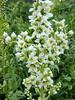 Veratrum californicum (corn lily), seen walking around after dinner.