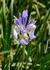 Iris missouriensis.  Western blue flag.  Near Gem Lake, Inyo NF, August 2010.