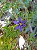 Sisyrinchium halophilum (Nevada blue-eyed grass).  Maybe.  Near Agnew Lake, Inyo NF, August 2010.