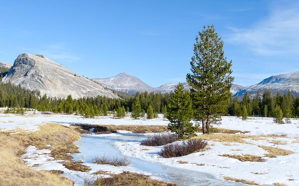 Pinus contorta ssp. murrayana (Sierra lodgepole pine).  Tuolumne Meadows.