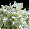 Frasera montana.  White frasera.
