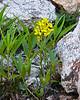 Erysimum asperum.  Western wallflower. Didn't see many.
