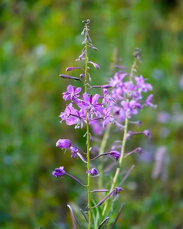 Chamerion angustifolium.  Fireweed.
