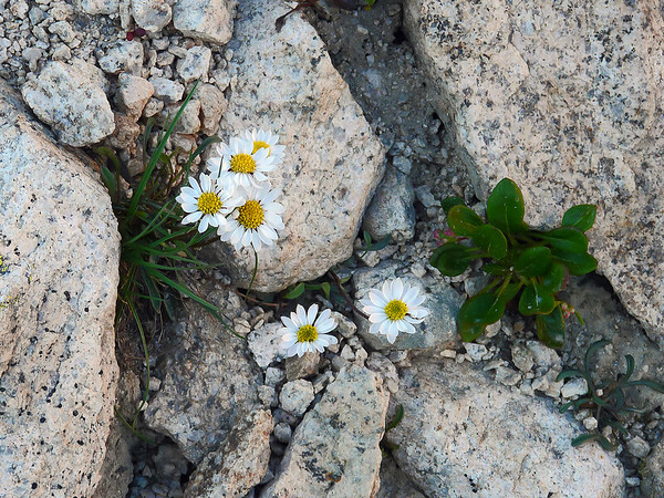 Erigeron evermannii - a fleabane daisy - probably.