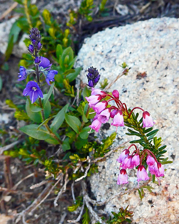 Veronica cusickii (Cusick's speedwell) and Phyllodoce empetriformis (pink mountain heath).