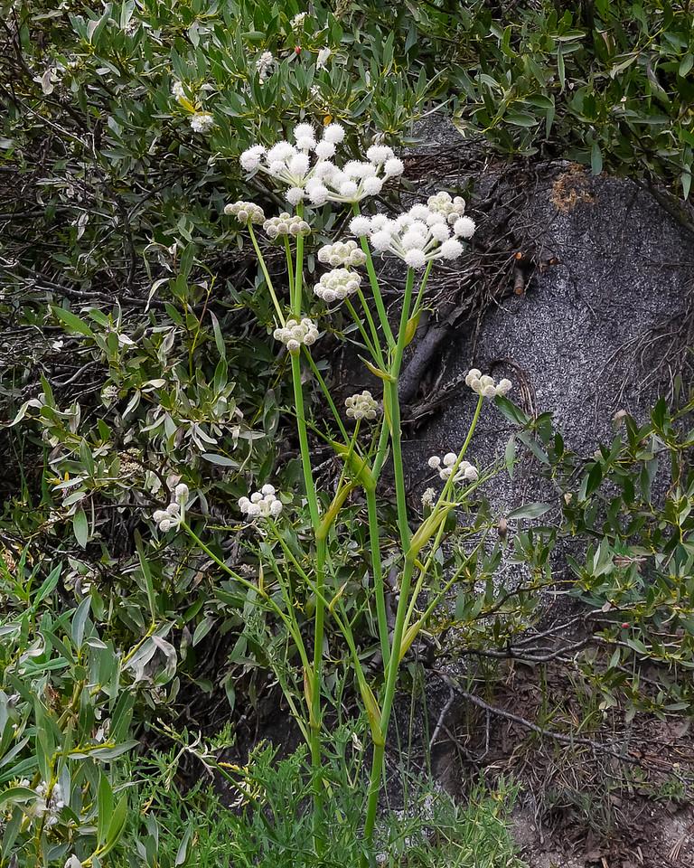 Sphenosciadium capitellatum.  Ranger's buttons.