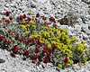 Eriogonum incanum (frosted buckwheat), probably.  Jepson notes the flowers are yellow but turn +- red in fruit.  Leaves and location fit.