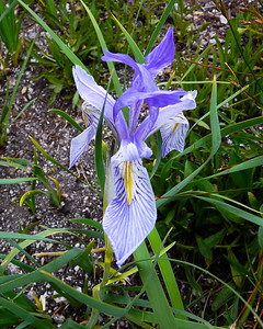 Iris missouriensis. Western blue flag.  The only one I saw on this trip.