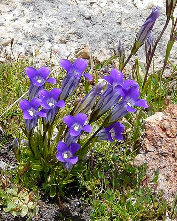 Gentianopsis holopetala.  Sierra gentian.
